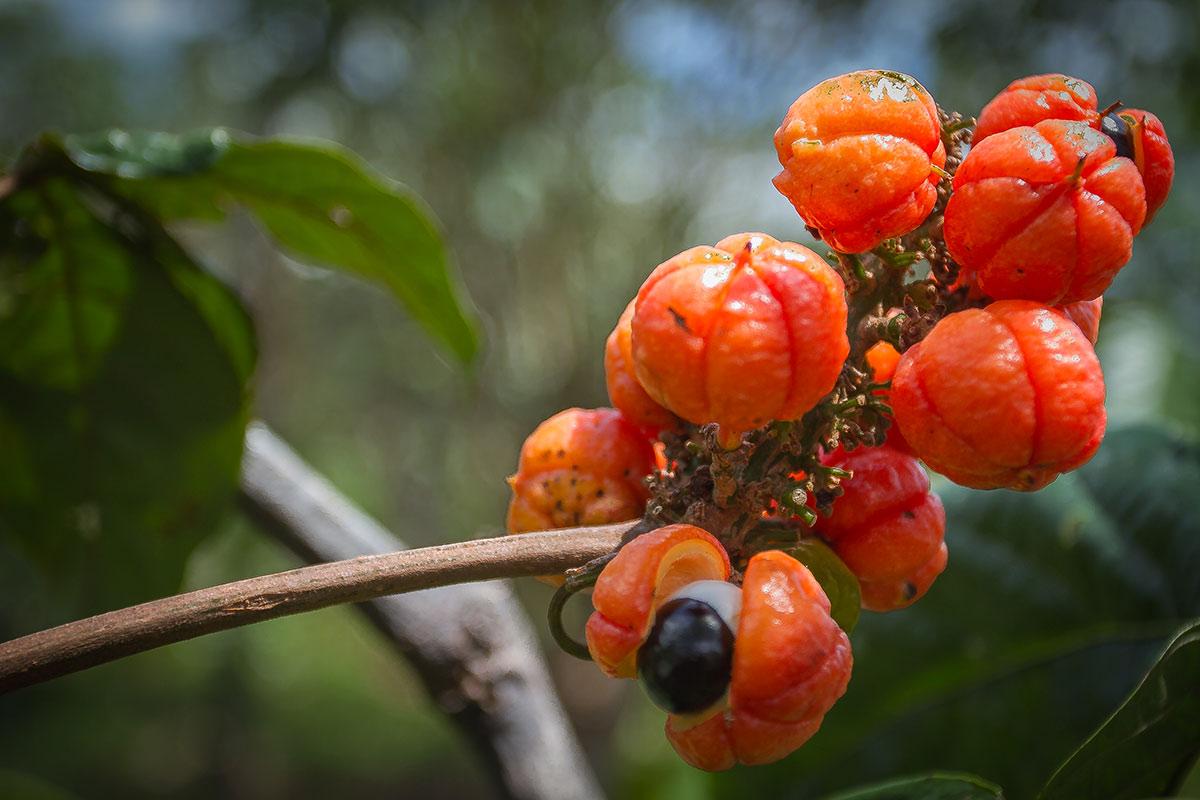 Guaraná, a famosa fruta brasileira que hoje já é vista mundialmente em forma de refrigerante